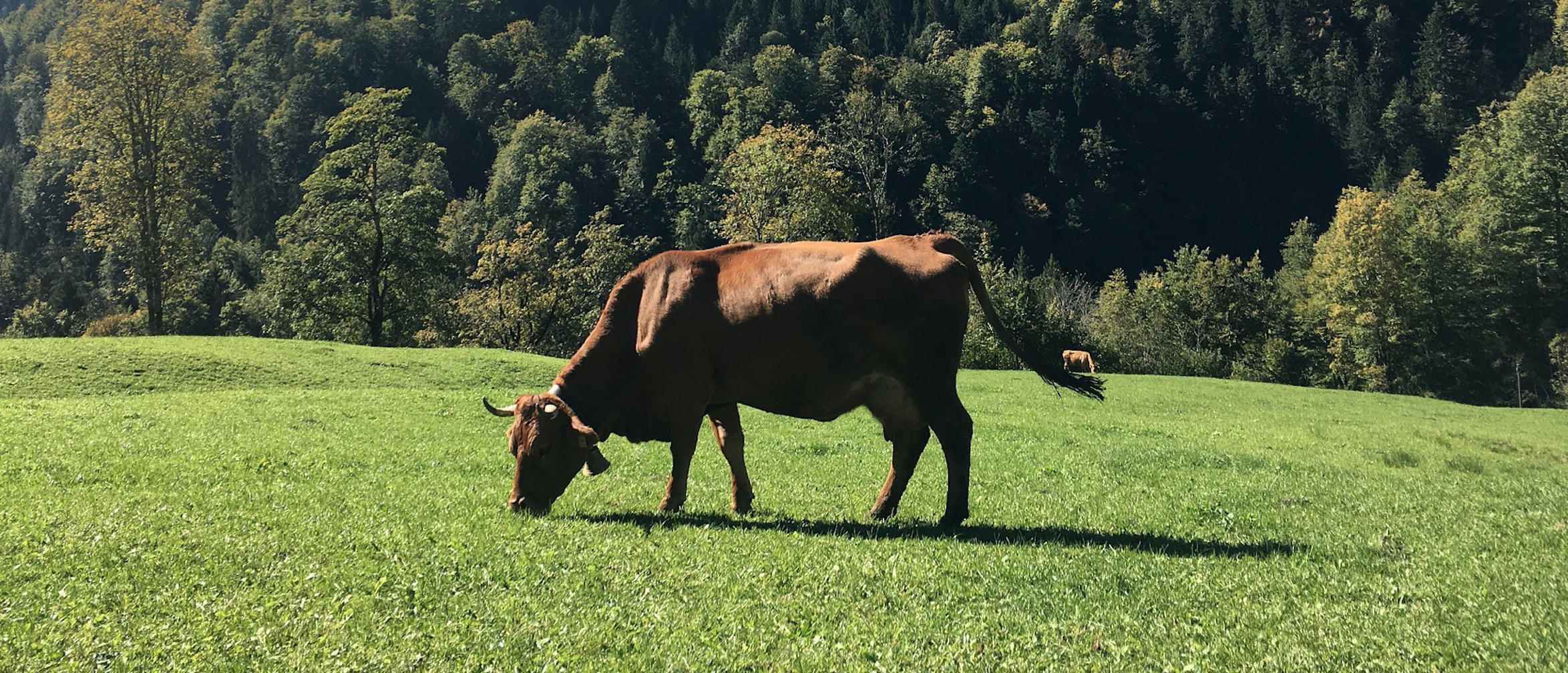 meadow-cow.jpg
